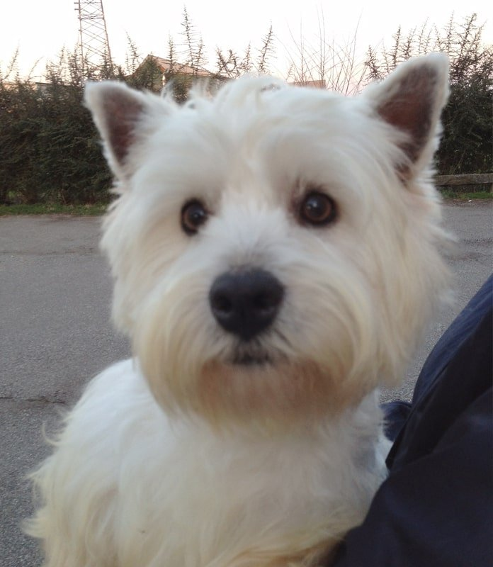 West Highland White Terrier - Valle Celata