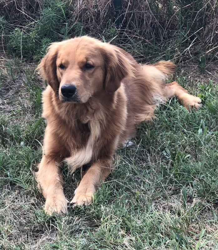 Allevamento Golden Retriever - Valle Celata
